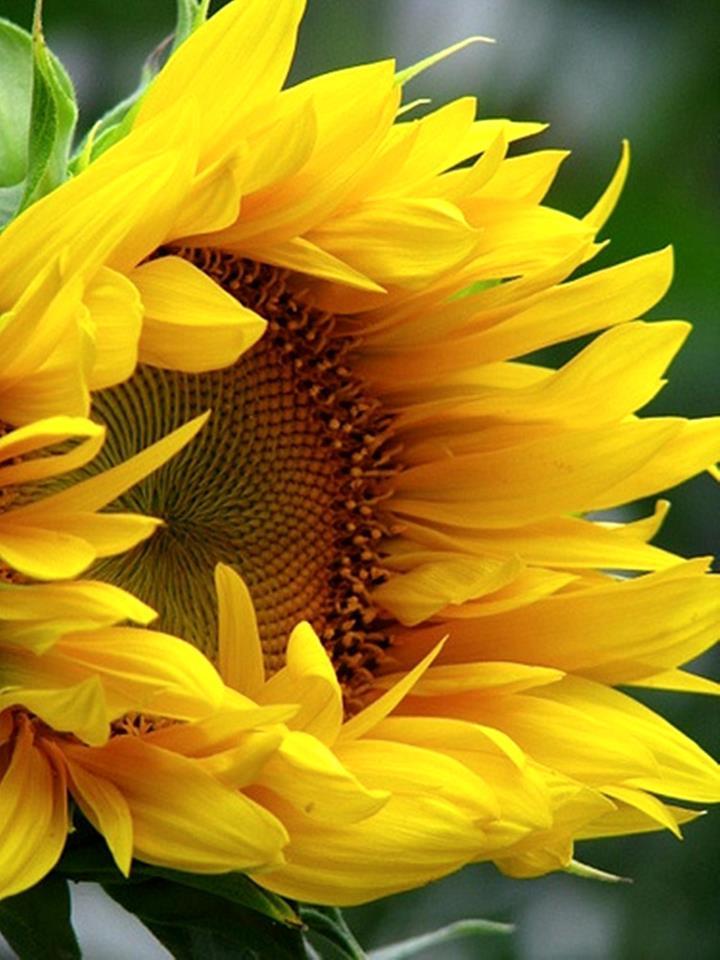 Floral Girassol Florais Filhas de Gaia