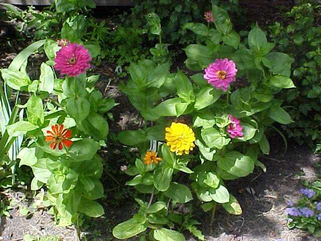Floral Zinia Florais Filhas de Gaia