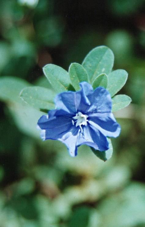 Floral Azulzinha Florais Filhas de Gaia