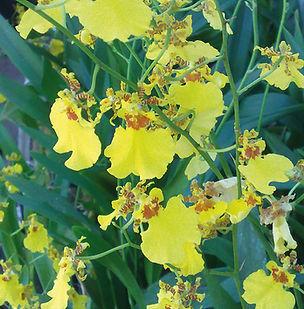 Floral Chuva de Ouro Filhas de Gaia