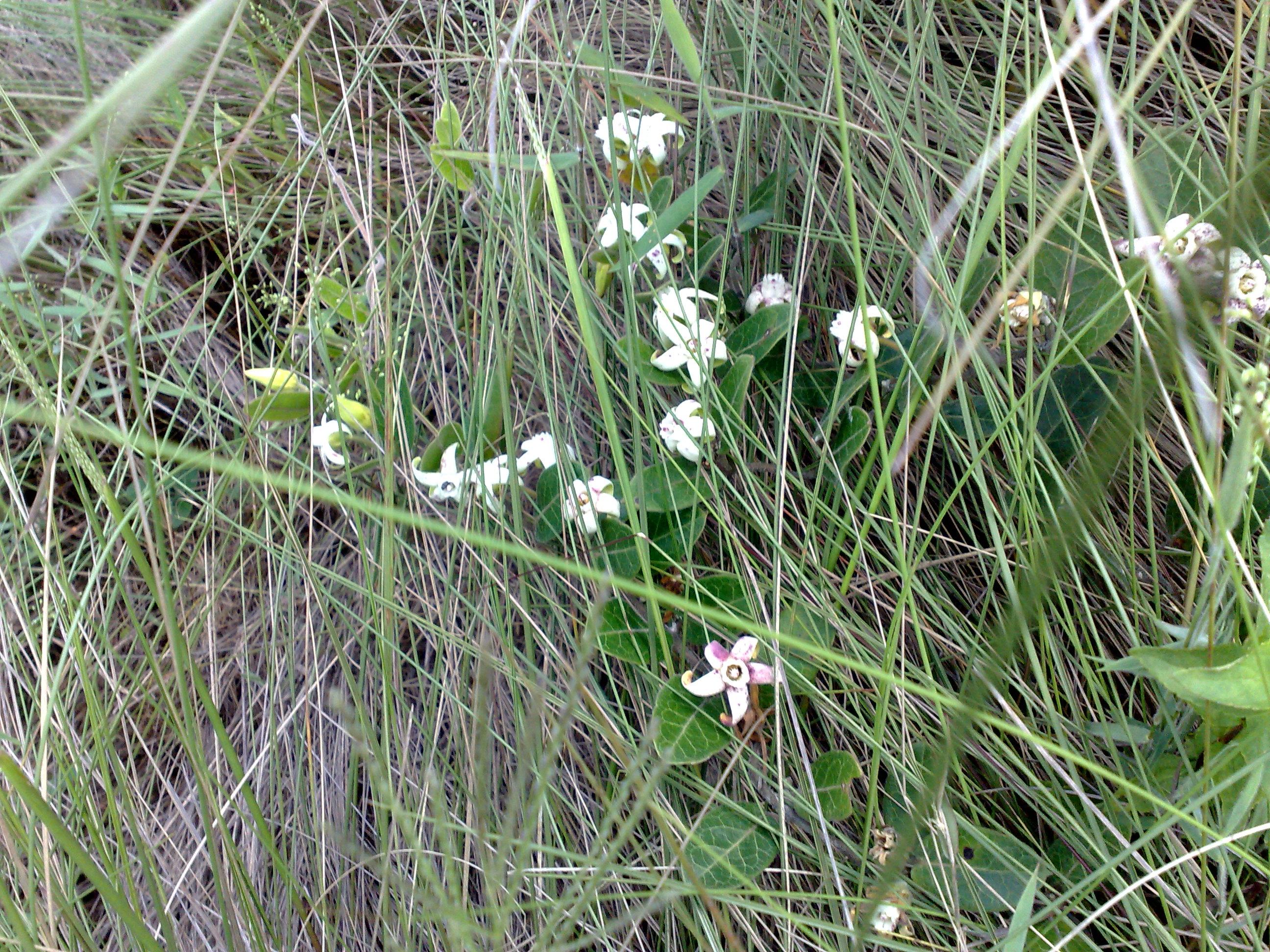 Floral Cometa Florais Filhas de Gaia