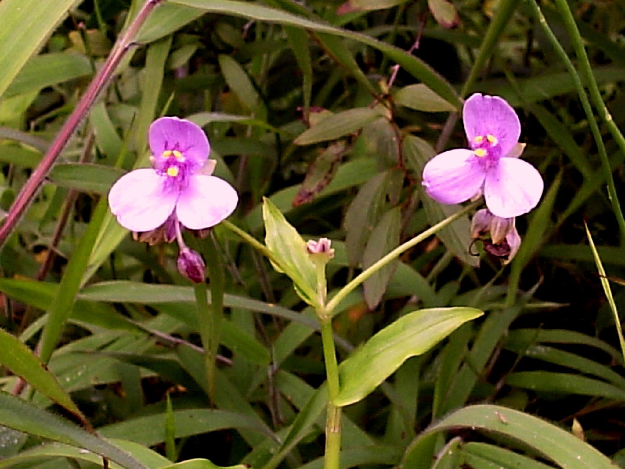 Floral Trapoeraba Rosa Florais Filhas de Gaia