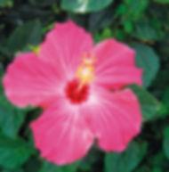 Floral Hibisco Rosa Filhas de Gaia