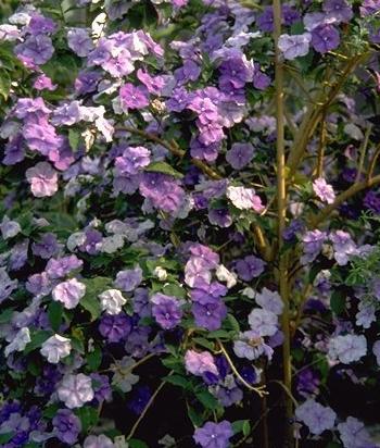Floral Manacá Cheiroso Florais Filhas de Gaia