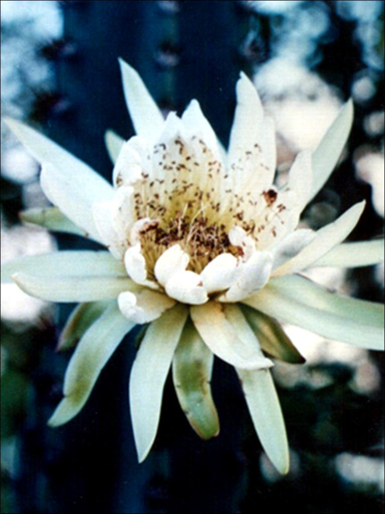 Floral Mandacarú Florais Filhas de Gaia
