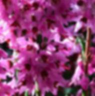 Floral de Bach Heather