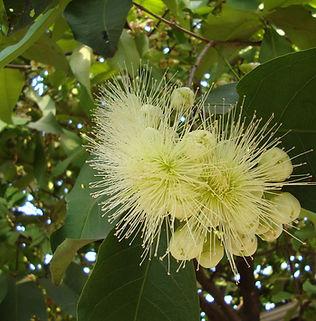 Floral Jambo Branco Filhas de Gaia