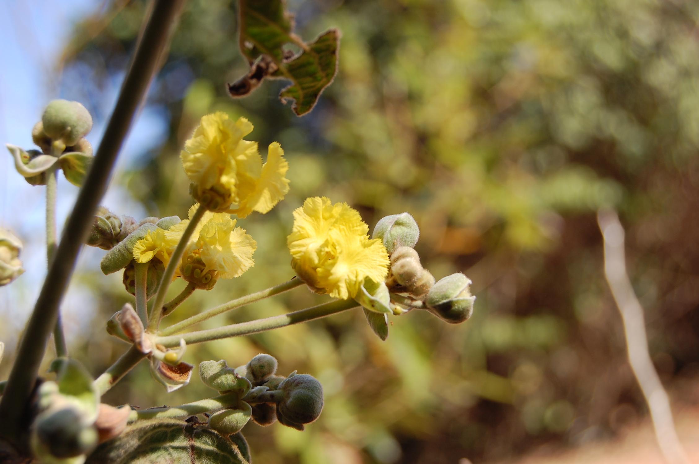 Floral Douradinha do Cerrado Florais Filhas de Gaia