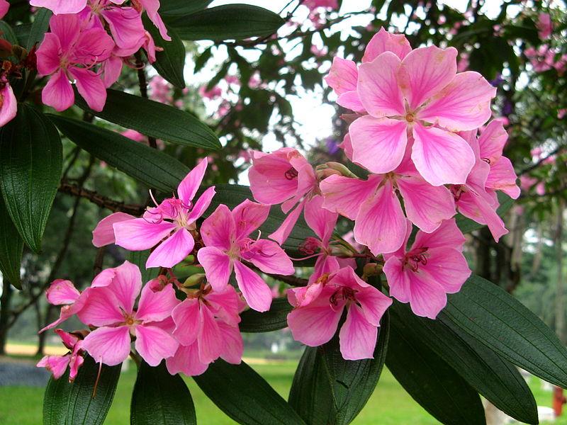 Floral Quaresmeira Rosa Florais Filhas de Gaia