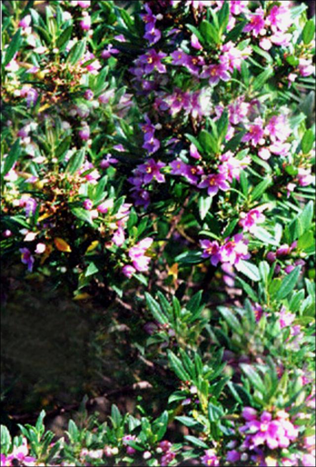 Floral Érica Florais Filhas de Gaia