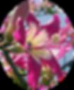 Paineira Florais Filhas de Gaia
