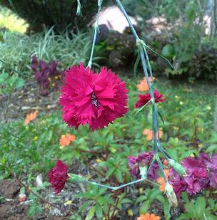 Floral Cravo Carmin Filhas de Gaia