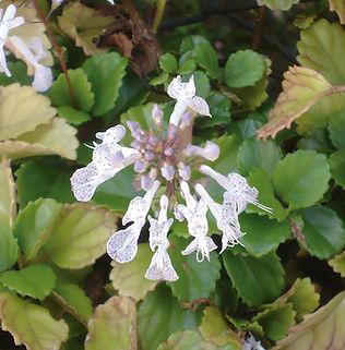 Floral Dinheiro em Penca Filhas de Gaia