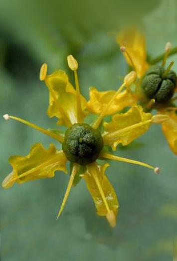 Floral Arruda Florais Filhas de Gaia