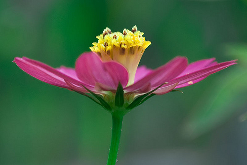 Floral Margarida de Alagoas Florais Filhas de Gaia