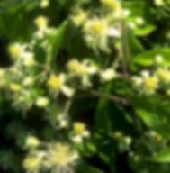 Floral de Bach Clematis