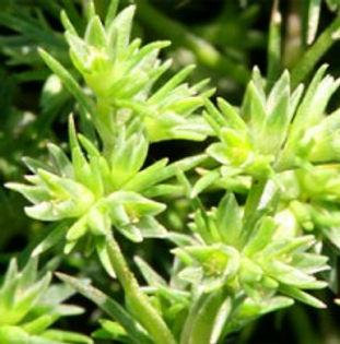 Floral de Bach Scleranthus