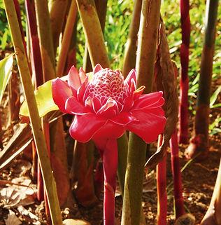 Floral Bastão do Imperador Filhas de Gaia