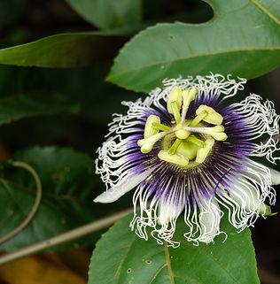 Floral Maracujá Filhas de Gaia