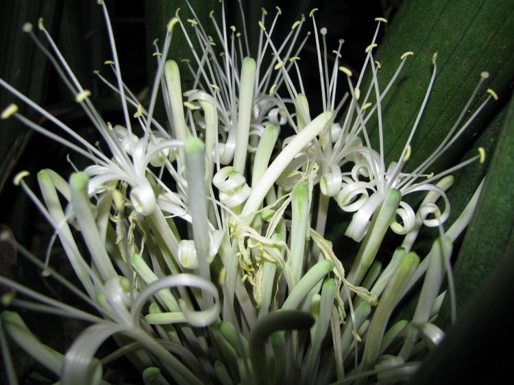 Floral Lança de Ogum Florais Filhas de Gaia