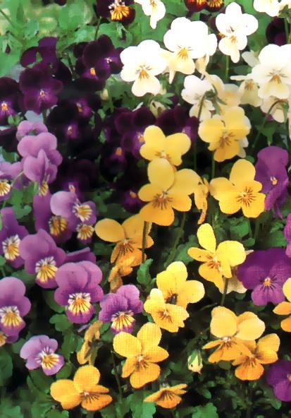 Floral Amor Perfeito Florais Filhas de Gaia