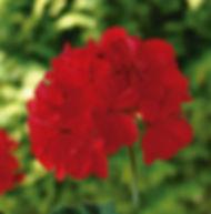 Floral Gerânio Vermelho Filhas de Gaia