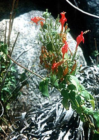 Floral Raposa Florais Filhas de Gaia