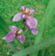 Floral Íris Filhas de Gaia