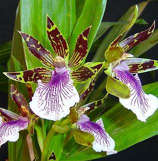 Floral Orquídea Violeta Filhas de Gaia