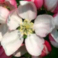 Floral de Bach Crab Apple