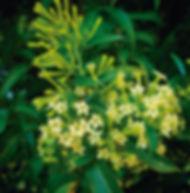 Floral Dama da Noite Filhas de Gaia