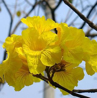 Floral Ipê Amarelo Filhas de Gaia
