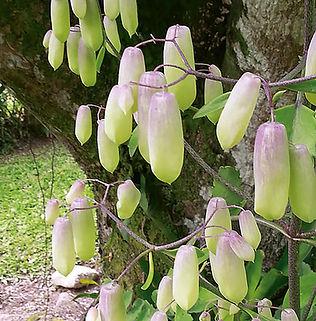 Floral Broto de Saião Filhas de Gaia