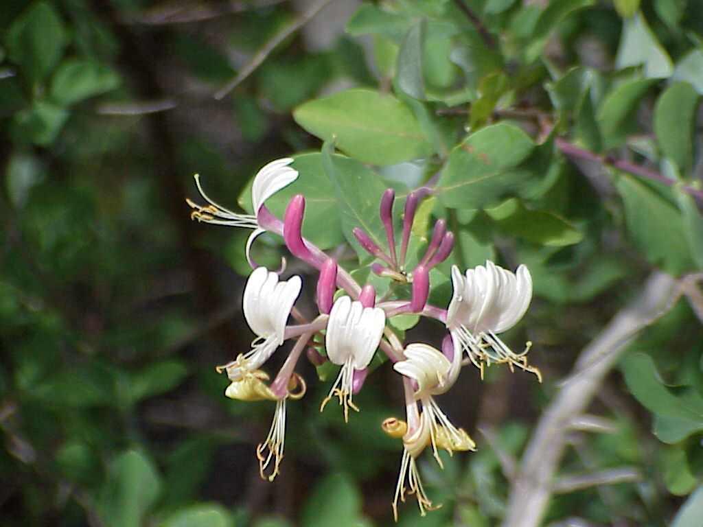 Floral Madressilva Florais Filhas de Gaia