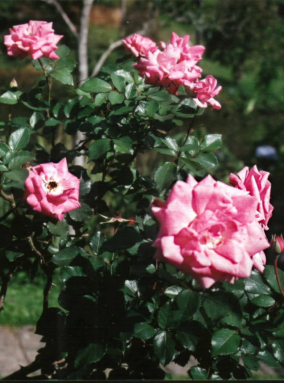 Floral Rosa Rosa Florais Filhas de Gaia