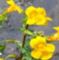 Floral de Bach Mimulus