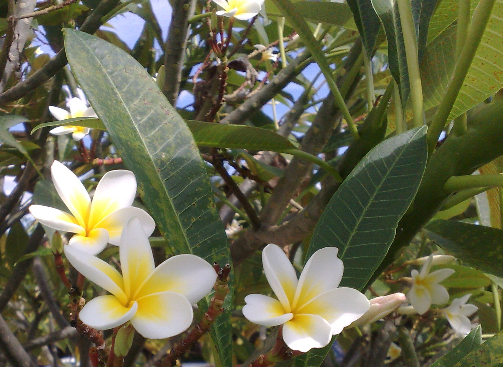 Floral Jasmin Manga Florais Filhas de Gaia