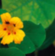 Floral Capuchinha Filhas de Gaia
