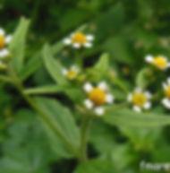 Floral Botão Branco Filhas de Gaia