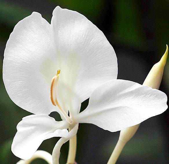 Floral Lirio do Brejo Florais Filhas de Gaia