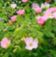 Floral de Bach Wild Rose