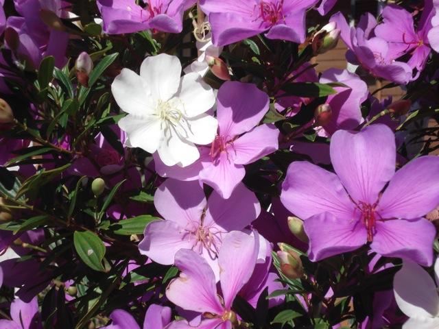 Floral Manacá da Serra Florais Filhas de Gaia