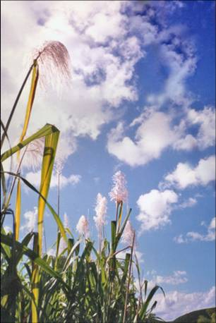 Floral Cana de Açúcar Florais Filhas de Gaia