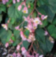 Floral Begônia Filhas de Gaia