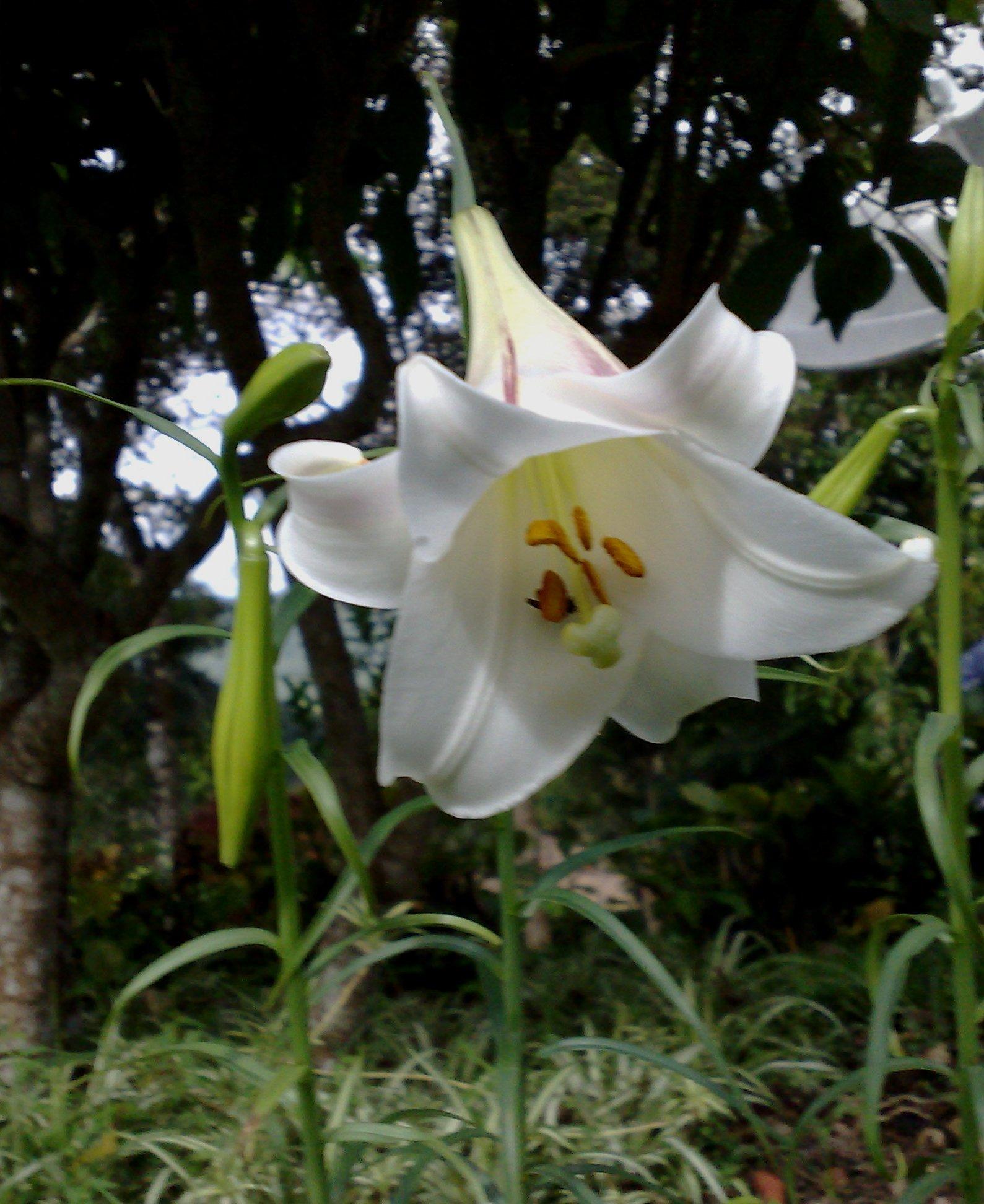 Floral Lírio da Montanha Florais Filhas de Gaia