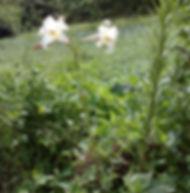 Floral Lírio da Montanha Filhas de Gaia