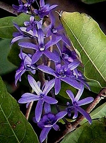 Floral Viuvinha Florais Filhas de Gaia