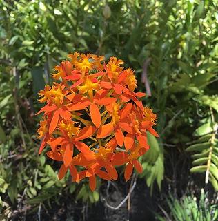 Floral Orquídea do Cardoso Filhas de Gaia