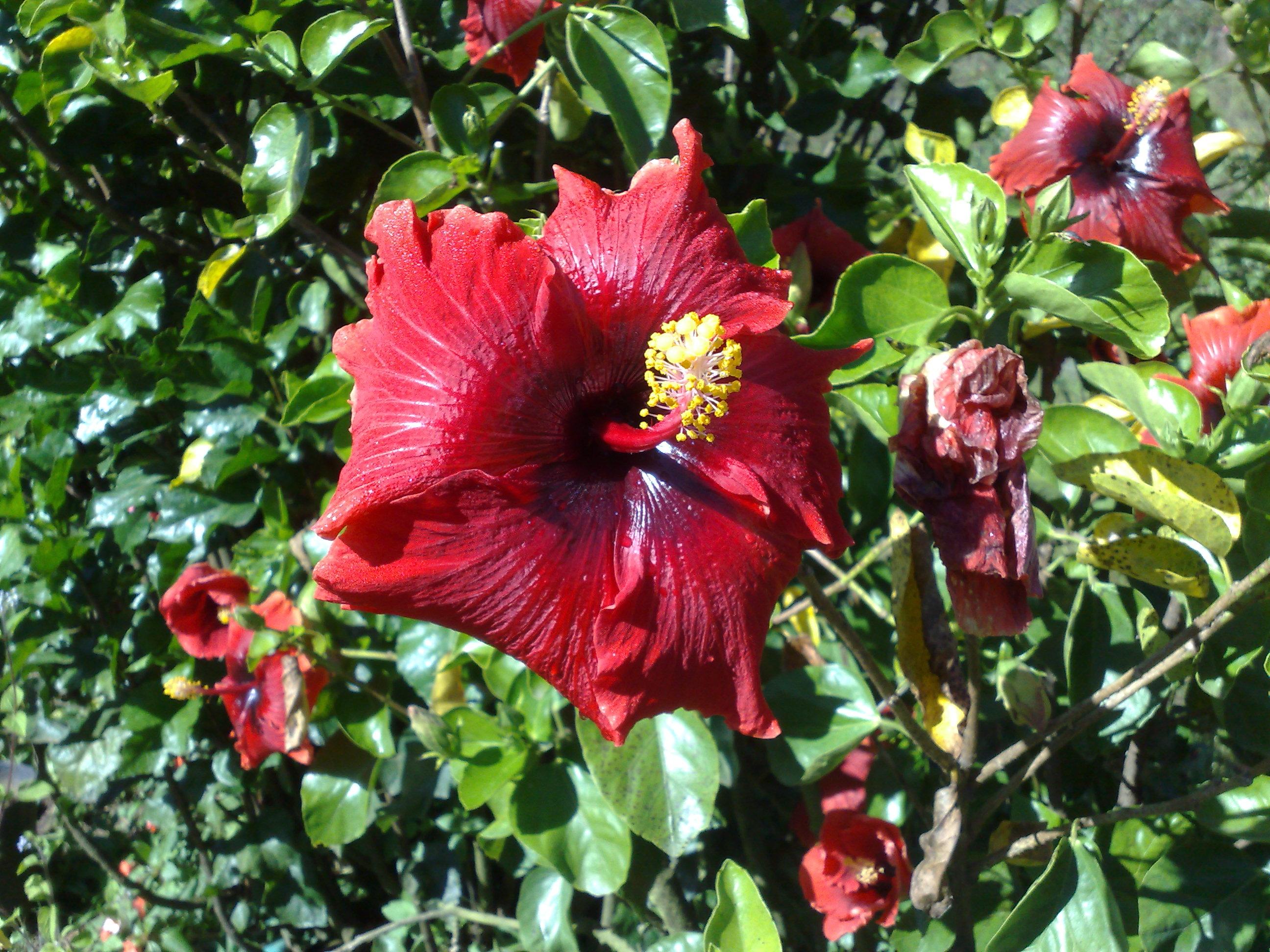 Floral Hibisco Vermelho Florais Filhas de Gaia