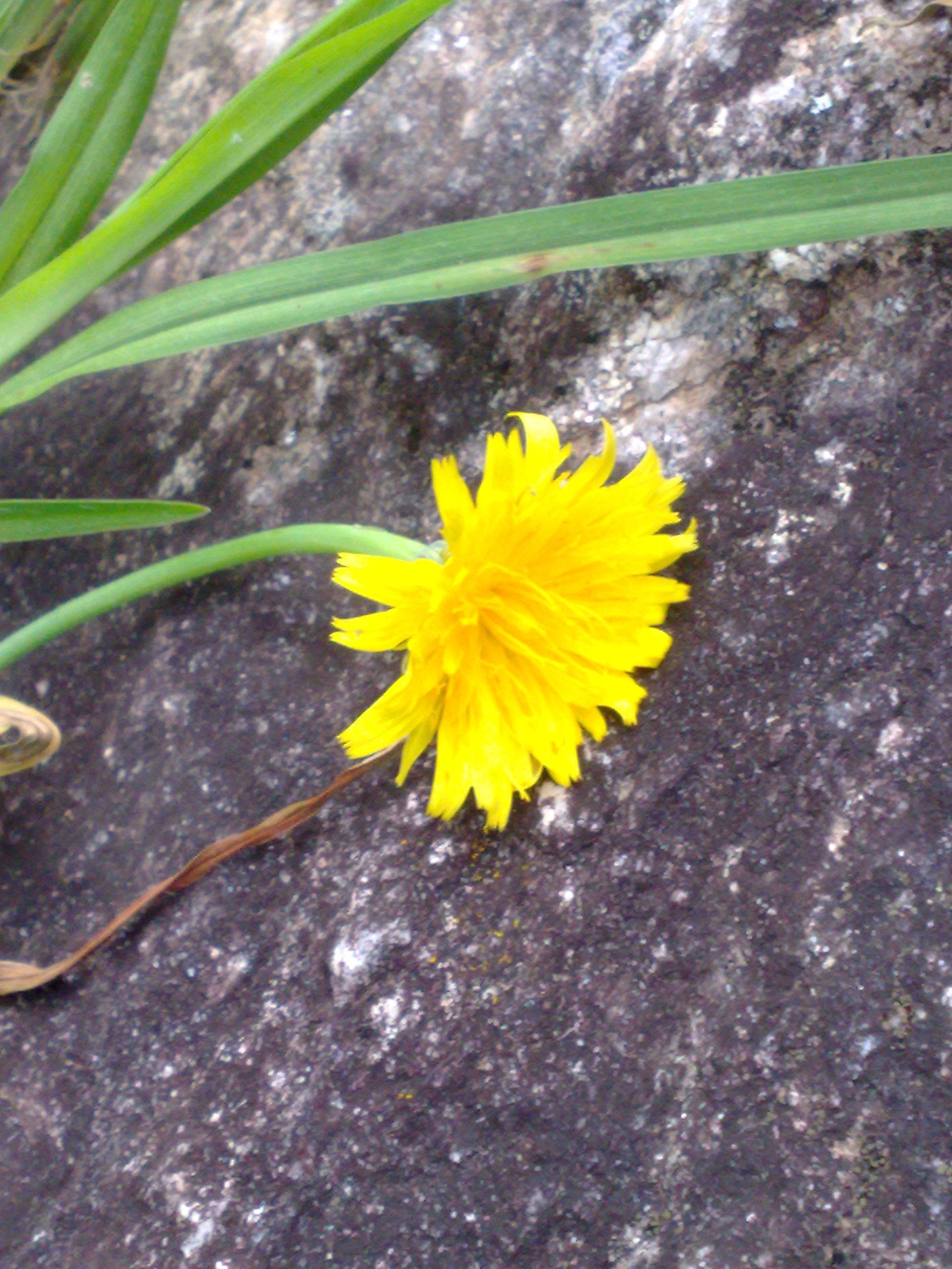 Floral Dente de Leão Florais Filhas de Gaia